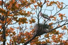 朱鹭鸟在红色树顶部的修造巢 免版税库存图片