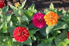 3朵桃红色红色和橙色zinna花 库存照片