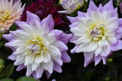 2朵紫色黄色和白色大丽花 免版税库存图片
