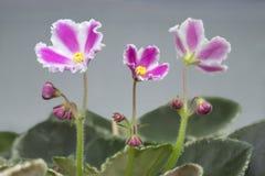3朵紫罗兰花 图库摄影