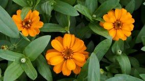 3朵黄色百日菊属花 免版税库存照片