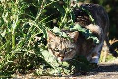 机会主义的猫 免版税图库摄影
