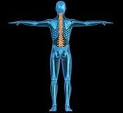 机体人力概要脊椎 向量例证