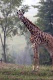 机体充分的长颈鹿射击 库存图片