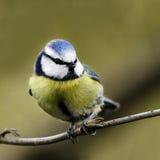 机敏栖息在树枝的一只成人蓝冠山雀(帕鲁斯caeruleus)的画象。 库存照片