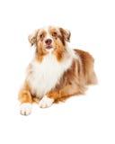 机敏澳大利亚牧羊犬放置 免版税库存图片