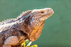 机敏的大开曼蓝色鬣鳞蜥侧视图  免版税库存图片