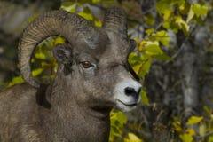 机敏的大角野绵羊公羊在国家公园 免版税库存图片