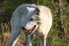 机敏的狼 免版税库存图片