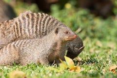 机敏的猫鼬狩猎 免版税库存图片
