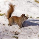 在冬天雪的机敏的逗人喜爱的美国红松鼠 免版税图库摄影
