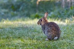 机敏的野生共同的兔子(穴兔串孔)在草甸坐一个冷淡的早晨 库存照片