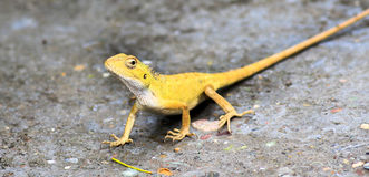 机敏的黄色变色蜥蜴 图库摄影