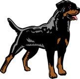 机敏的Rottweiler 库存例证