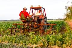 机械化处理在行之间的草在玉米田 库存照片