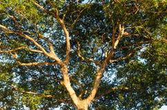 机盖树 免版税库存图片