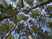 机盖针叶树 库存图片