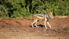机警的支持黑的狐狼 免版税图库摄影