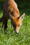 机警的狐狸 库存照片