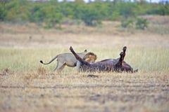 杀害狮子 免版税库存照片