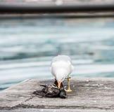 杀害鸽子的海鸥 免版税库存图片