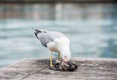 杀害鸽子的海鸥 免版税库存照片
