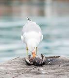 杀害鸽子的海鸥 免版税图库摄影