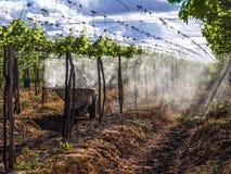 杀虫剂的应用在种植葡萄的 库存图片
