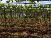 杀虫剂的应用在种植葡萄的 免版税库存图片