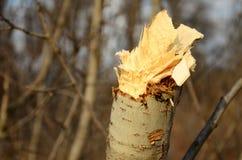 杂乱树桩分支 库存图片