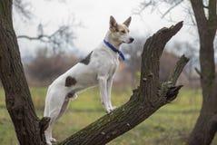 杂交繁育站立在杏树分支和注意敌人的狗在秋季 库存照片