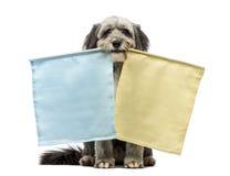 杂交繁育, 4岁,坐和拿着二个标志,黄色和蓝色,在其嘴 免版税库存照片