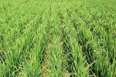 杂交水稻厂领域 免版税库存图片