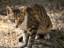 杂散的猫 免版税库存图片