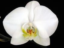 杂种兰花兰花植物 库存图片