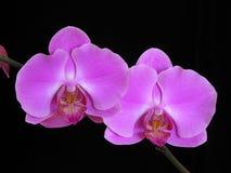 杂种兰花兰花植物 库存照片