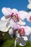 杂种兰花兰花植物 免版税库存图片