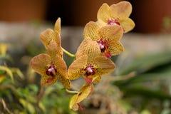 杂种兰花植物,在关闭的老虎兰花 免版税库存照片