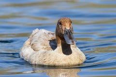 杂种国内鸭子游泳在湖 免版税库存照片