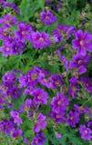 杂种大竺葵的美丽的紫色花在庭院里 库存图片
