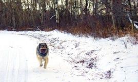 杂种德国牧羊犬大比利牛斯狗 免版税库存图片