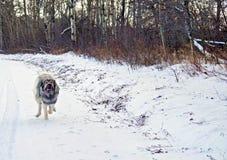 杂种德国牧羊犬大比利牛斯狗 图库摄影