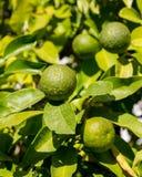杂种树生长桔子和柠檬 免版税库存照片