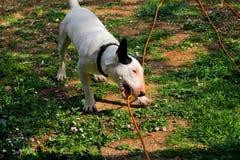 杂种犬在庭院,白色狗使用 免版税库存图片