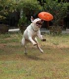 杂种犬狗使用和叮咬橡胶狗玩具 免版税库存图片