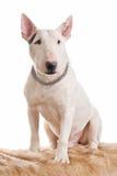 杂种犬白色 库存照片
