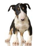 杂种犬 库存图片