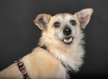杂种狗在演播室 库存图片