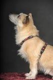 杂种狗在演播室 免版税库存照片
