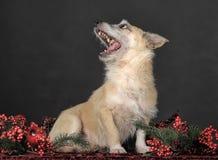 杂种狗在演播室 免版税图库摄影
